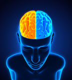 Ser humano Brain Anatomy Imagens de Stock Royalty Free