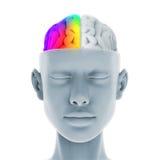 Ser humano Brain Anatomy Fotos de archivo libres de regalías