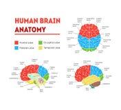 Ser humano Brain Anatomy Card Poster Vector ilustración del vector