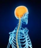Ser humano Brain Anatomy e esqueleto imagens de stock