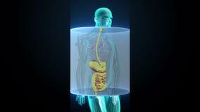 Ser humano de enfoque los órganos internos, sistema de la digestión Luz azul de la radiografía