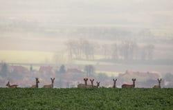 Ser humano e natureza Grupo de cervos de ovas & de x28; Capreolus& x29 do Capreolus; Imagem de Stock