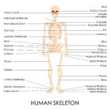 Ser humano Skelton Foto de Stock Royalty Free