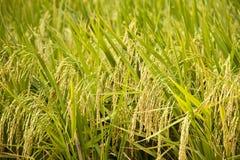 Sera del riso dorato immagini stock