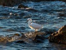 Sera della linea costiera rocciosa dell'egretta di Snowy Immagine Stock Libera da Diritti
