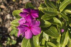 Sera di fioritura di Al del bello fiore violaceo fotografia stock