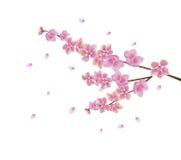 Sera nella ciliegia di fioritura del giardino Immagini Stock