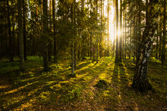 Sera nella foresta Fotografia Stock Libera da Diritti