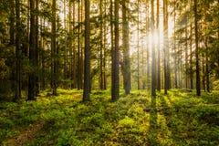 Sera nella foresta Immagine Stock