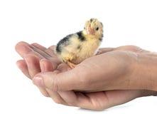 Serama chick in hand Stock Photo