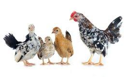 Serama chickens Stock Images
