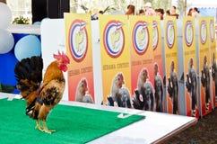 Serama contest in Thailand. Stock Photos