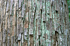 Seraya tree bark. Rough texture of the bark of a seraya tree trunk in the tropical rainforest of Bukit Timah nature reserve in Singapore Royalty Free Stock Images