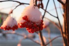 Serbal del invierno fotografía de archivo