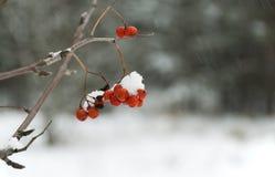 Serbal del invierno Imagen de archivo libre de regalías