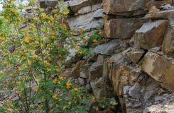 Serbal en el fondo de una pared del granito texture horizontal de las tarjetas del pino nudoso Fotografía de archivo libre de regalías