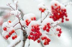 Serbal en la nieve Foto de archivo libre de regalías
