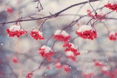 Serbal en la nieve Imagen de archivo libre de regalías