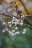 Serbal en otoño Fotografía de archivo