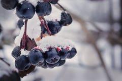 Serbal negro en la nieve con kapyami rojo del jugo Imágenes de archivo libres de regalías