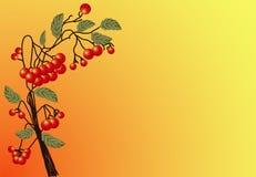 Serbal rojo Imagen de archivo libre de regalías