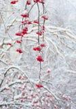 Serbal rojo en invierno Fotografía de archivo libre de regalías