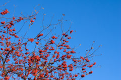 serbal Rojo-maduro Fotografía de archivo libre de regalías