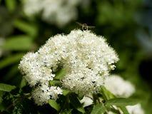 Serbal y abeja Imagen de archivo