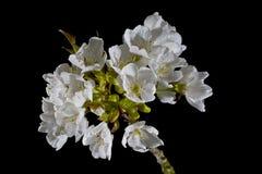 Serbal y x28; Montaña Ash& x29; Flores Foto de archivo libre de regalías