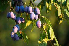 Serbian plums on the tree Stock Images