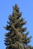 Serbian spruce. Latin name - Picea omorika royalty free stock image