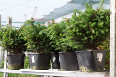 The Serbian spruce in pots Stock Images