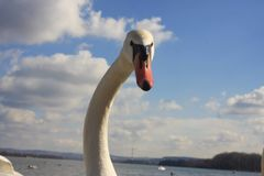 Serbian Swan royalty free stock images