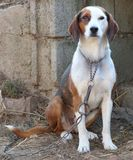 The Serbian Tricolour Hound. The Serbian Tricolour Hunting Hound - dog on a metal leash stock images