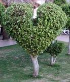 Serca Kształtny drzewo Zdjęcia Stock