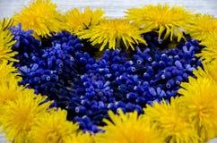 serce ' Błękit i kolor żółty kwitniemy na stole w shap Zdjęcie Stock