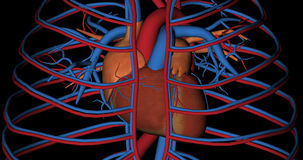 Serce, cava żyła i aorty arteria w obracaniu, ilustracji