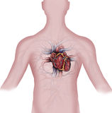 Serce i ludzki naczyniasty system Zdjęcia Royalty Free