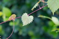 Serce kształtował strzępiastego liść na winogradzie w selekcyjnej ostrości Obraz Stock