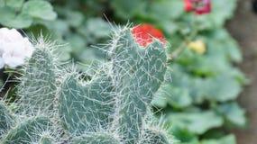 Serce kształtująca kaktusowa rośliien spreasds miłość Obrazy Royalty Free