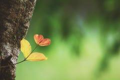 Serce opuszcza dorośnięcie duży drzewo fotografia stock