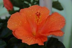 Serce pomarańczowa kropli woda i kwiat obrazy royalty free