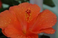 Serce pomarańczowy kwiat obraz royalty free