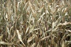 Sere corn plants stock images