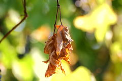 Sere leaf in a vineyard Royalty Free Stock Photos