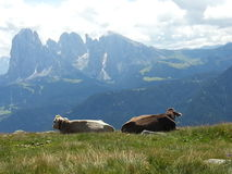 Serendipity of two cows in Dolomiti Royalty Free Stock Image