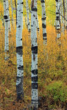 Serene Aspen Glade in the Utah mountains. Stock Images