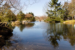 Serene duck pond in spring Royalty Free Stock Image