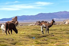 Free Serene Green Landscape With Alpacas And Llamas, Geological Rock Formations On Altiplano, Andes Of Bolivia, South America Stock Image - 150912711