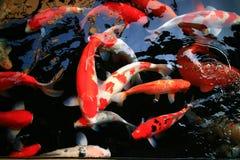 Serene koi pond. Red fish in a serene koi pond Stock Photography